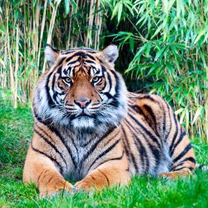 Banner_tigri_green